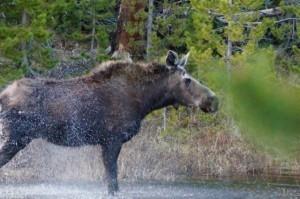 Moose in Colorado