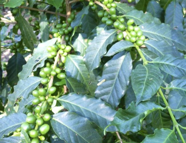 Coffee beans Entre Amigos
