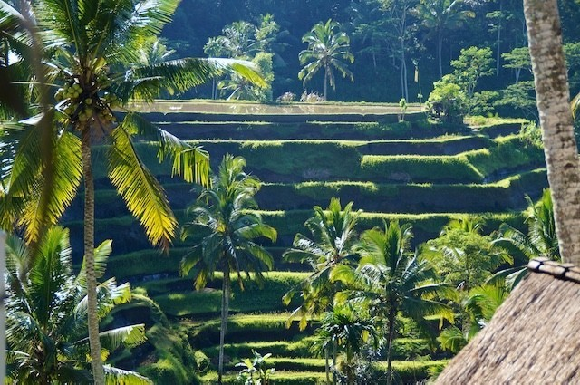 Bali, Holy Water, Rice Fields, Terraces